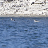 Common Loons <br /> Table Rock lake