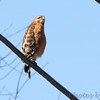 Red-shouldered Hawk <br /> Table Rock Lake