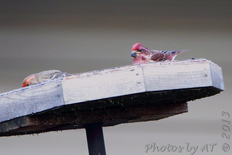 Purple Finch <br /> Nixa MO