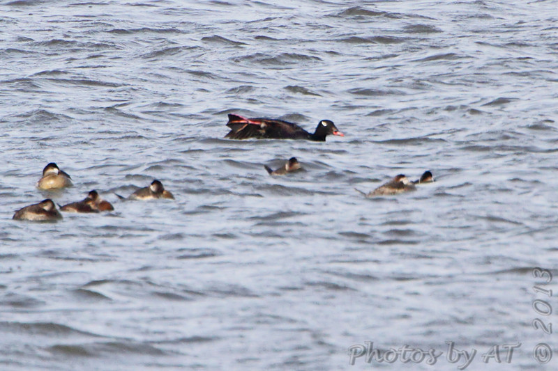 White-winged Scoter <br /> and Ruddy Ducks <br /> Ellis Bay <br /> Riverlands Migratory Bird Sanctuary