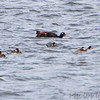 White-winged Scoter <br /> and Ruddy Ducks <br /> Ellis Bay <br /> Riverlands Migratory Bird Sanctuary