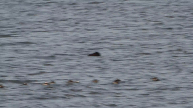 "White-winged Scoter <br> and Ruddy Ducks <br> Ellis Bay <br> Riverlands Migratory Bird Sanctuary <br><br><span class=""noShowSmart""> <a href=""/MyKeywords/Bird-Videos/n-gF9bt/i-Z6sLXrZ/A""> <span style=""color:yellow"">Click here to open video in lightbox/full screen</span></a> <br><br></span>  <span class=""noShowGallery""> <a href=""/Birds/Birding-2013-February/2013-02-09-RMBS/i-Z6sLXrZ/A""> <span style=""color:yellow"">Click here to open video in lightbox/full screen</span></a> </span>"