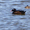 White-winged Scoter <br /> and Ruddy Duck <br /> Ellis Bay <br /> Riverlands Migratory Bird Sanctuary