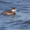 Ruddy Duck <br /> Ellis Bay <br /> Riverlands Migratory Bird Sanctuary