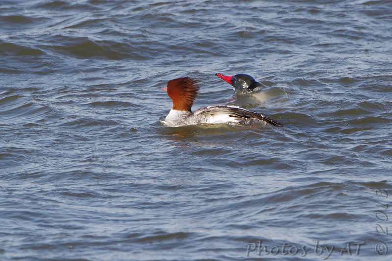 Common Mergansers <br /> Teal Pond <br /> Riverlands Migratory Bird Sanctuary