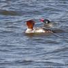 Common Mergansers <br /> Teal Pond <br /> Riverlands Migratory Bird Sanctuary