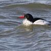 Common Merganser <br /> Teal Pond <br /> Riverlands Migratory Bird Sanctuary