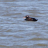 White-winged Scoter <br /> Ellis Bay <br /> Riverlands Migratory Bird Sanctuary