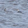 Western Grebe <br /> and Ruddy Duck <br /> Ellis Bay <br /> Riverlands Migratory Bird Sanctuary