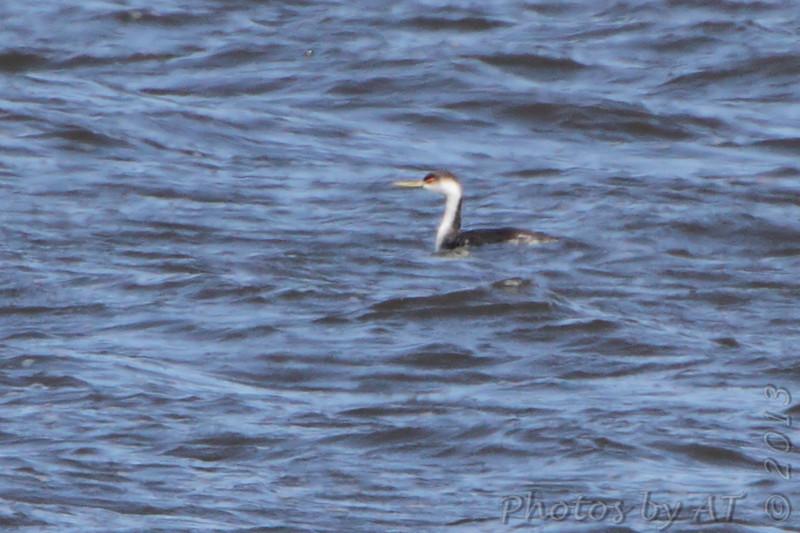 Western Grebe <br /> Ellis Bay <br /> Riverlands Migratory Bird Sanctuary