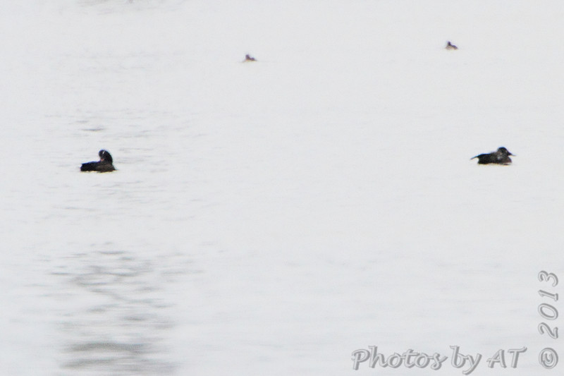 White-winged Scoters <br /> Upstream from the jetty at the dam <br /> Riverlands Migratory Bird Sanctuary