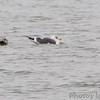 Lesser Black-backed Gull <br /> Teal Pond <br /> Riverlands Migratory Bird Sanctuary