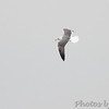 Lesser Black-backed Gull <br /> Riverlands Migratory Bird Sanctuary