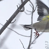 Oops <br /> Evening Grosbeak <br /> Clark County, MO