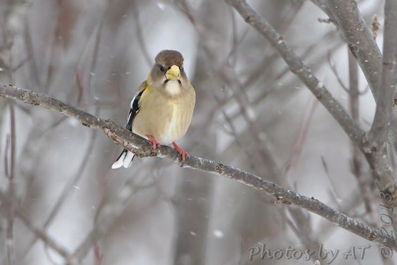 Evening Grosbeak <br /> Clark County, MO <br /> 2013-02-28<br /> <br /> No. 325 on my Lifetime List of Bird Species <br /> Photographed in Missouri