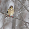 Evening Grosbeak <br /> Clark County, MO <br /> 2013-02-28<br /> <br /> No. 325 on my Lifetime List of Bird Species <br /> Photographed in Missouri