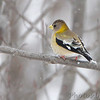 Evening Grosbeak <br /> Clark County, MO