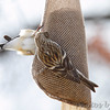 Common Redpoll <br /> Bridgeton, Mo. <br /> <>02/10/2013