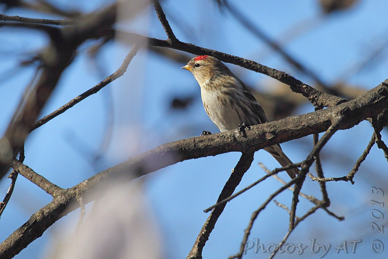 Common Redpoll <br /> Bridgeton, Mo. <br /> <>02/16/2013