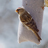 Common Redpoll <br /> Bridgeton, Mo. <br /> <>02/14/2013