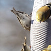 Common Redpoll <br /> Bridgeton, Mo. <br /> <>02/15/2013