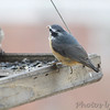Red-breasted Nuthatch <br /> Bridgeton, Mo. <br /> <>02/07/2013