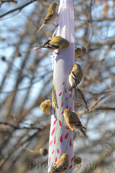 American Goldfinches <br /> Bridgeton, Mo. <br /> <>02/15/2013