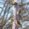 American Goldfinches <br /> City of Bridgeton <br /> St. Louis County, Missouri <br /> 02/15/2013
