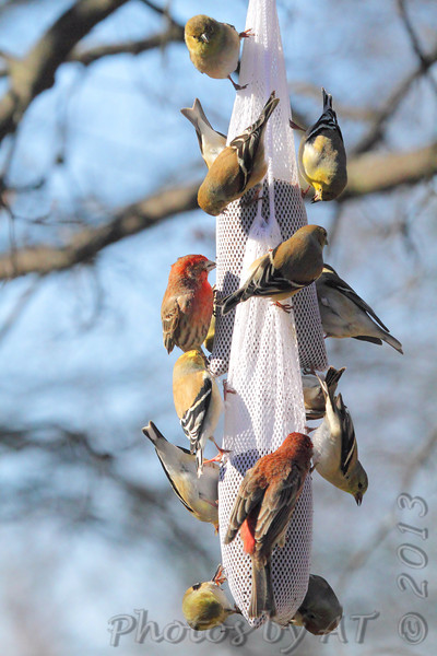American Goldfinches • House Finches <br /> Bridgeton, Mo. <br /> <>02/15/2013