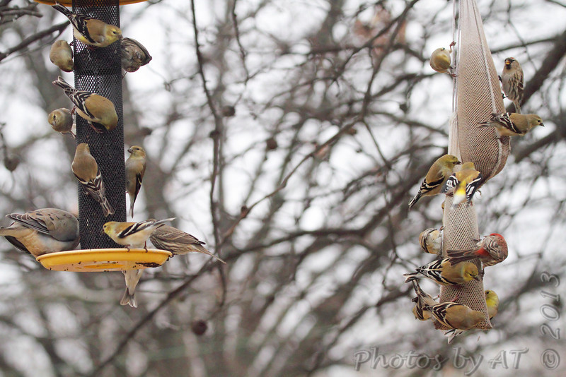 Common Redpoll (upper right) <br /> American Goldfinches • House Finches • Mourning Dove<br /> Bridgeton, Mo. <br /> <>02/08/2013