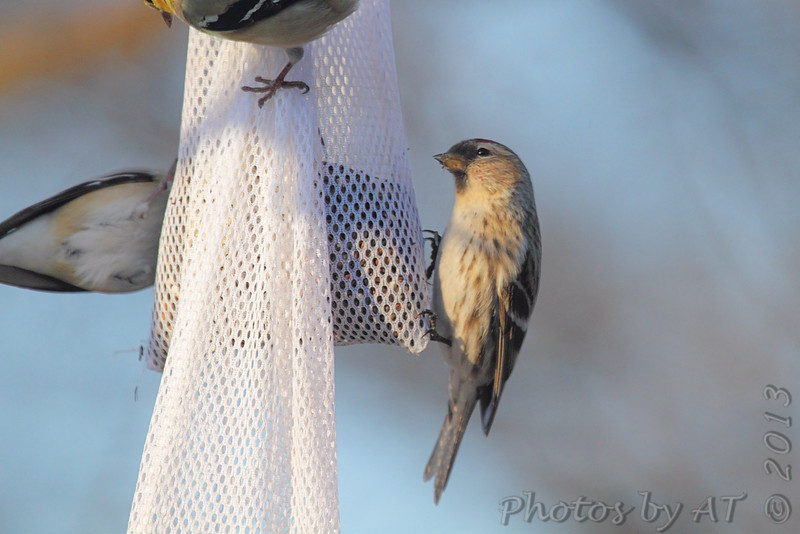 Common Redpoll <br /> and American Goldfinch<br /> Bridgeton, Mo. <br /> <>02/16/2013