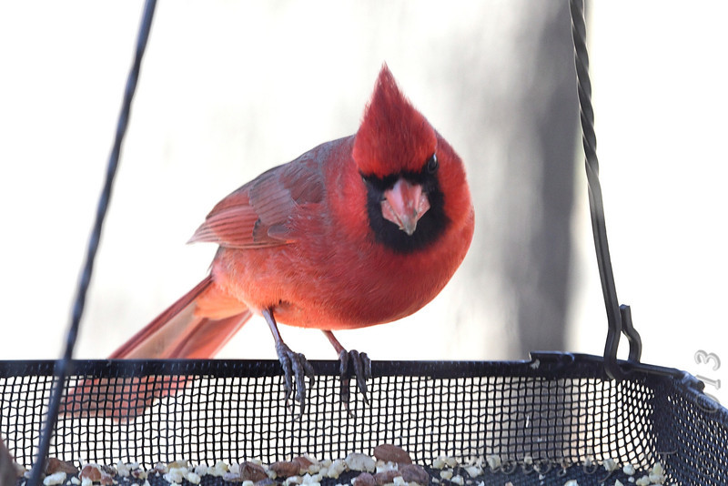 Northern Cardinal <br /> Bridgeton, Mo. <br /> <>02/15/2013