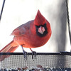 Northern Cardinal <br /> City of Bridgeton <br /> St. Louis County, Missouri <br /> 02/15/2013
