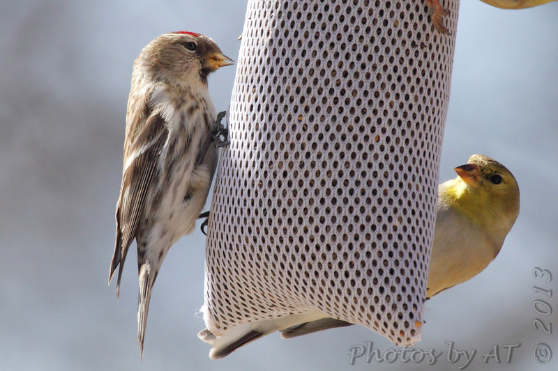 Common Redpoll <br /> Bridgeton, Mo. <br /> &lt;&gt;02/14/2013