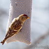 Common Redpoll <br /> City of Bridgeton <br /> St. Louis County, Missouri <br /> 02/14/2013