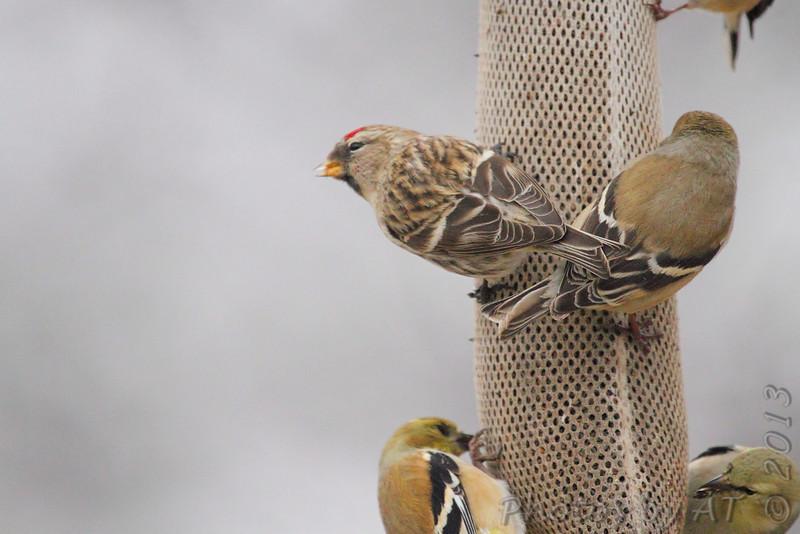 Common Redpoll <br /> and American Goldfinch <br /> Bridgeton, Mo. <br /> <>02/08/2013