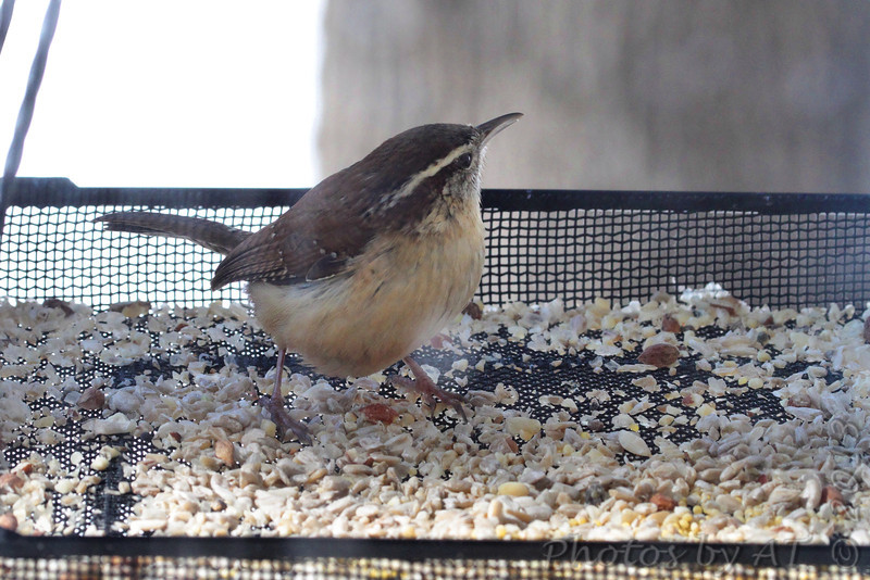 Carolina Wren <br /> Bridgeton, Mo. <br /> 02/23/2013