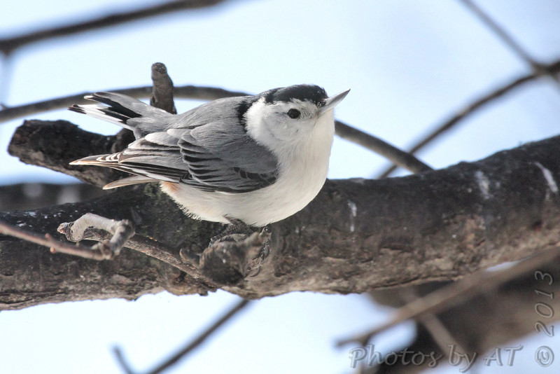 White-breasted Nuthatch <br /> City of Bridgeton <br /> St. Louis County, Missouri <br /> 02/23/2013