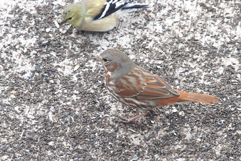 Fox Sparrow <br /> City of Bridgeton <br /> St. Louis County, Missouri <br /> 02/25/2013