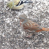 Fox Sparrow <br /> Bridgeton, Mo. <br /> 02/25/2013