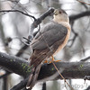 Cooper's Hawk <br /> Bridgeton, Mo. <br /> 02/26/2013