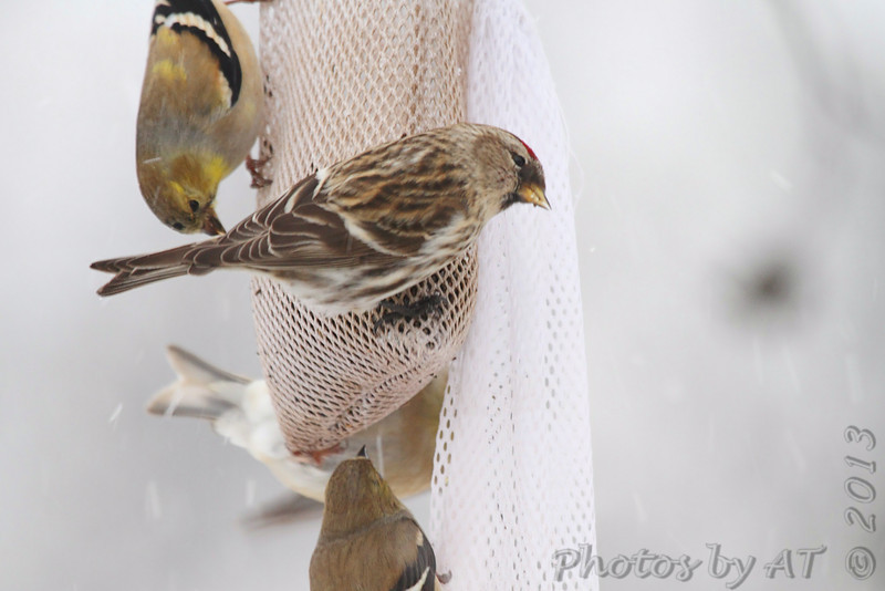 Common Redpoll <br /> and American Goldfinch<br /> Bridgeton, Mo. <br /> 02/21/2013