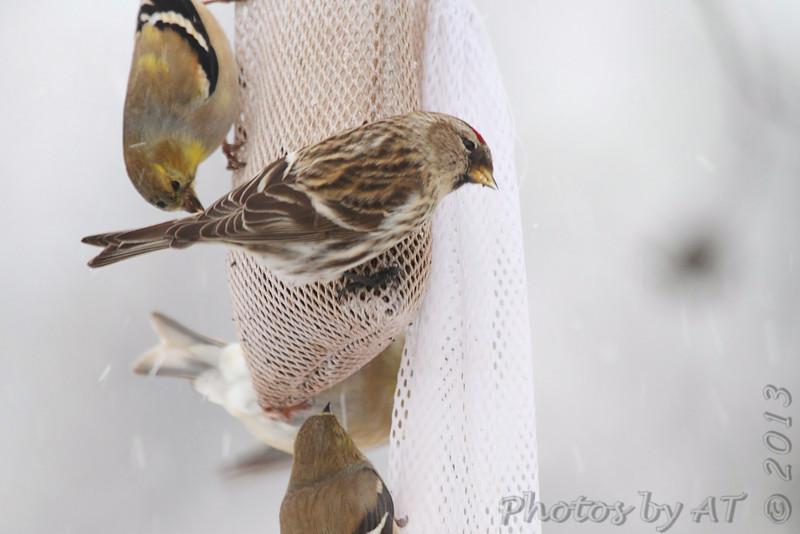 Common Redpoll <br /> and American Goldfinch<br /> Bridgeton, Mo. <br /> 02/21/2013