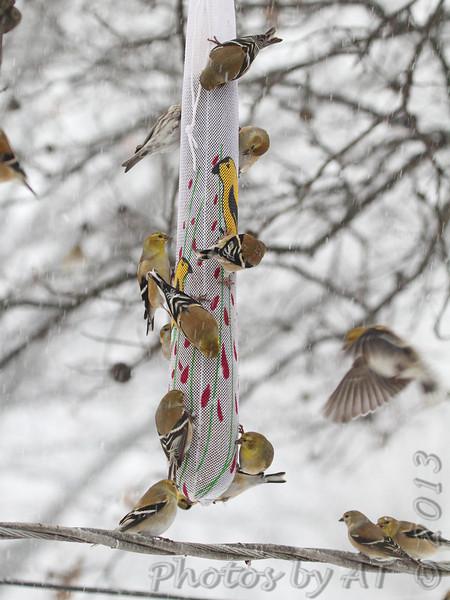 American Goldfinch <br /> Common Redpoll upper left <br /> Bridgeton, Mo. <br /> 02/21/2013