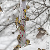 American Goldfinch <br /> Common Redpoll upper left <br /> Bridgeton, Mo. <br /> 02/21/2013