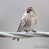 Common Redpoll <br /> City of Bridgeton <br /> St. Louis County, Missouri <br /> 02/28/2013