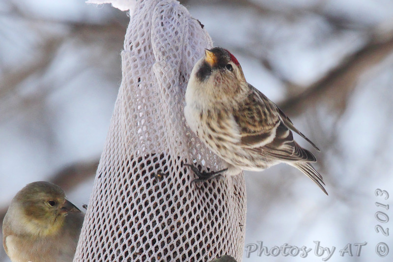 Common Redpoll <br /> and American Goldfinch<br /> Bridgeton, Mo. <br /> 02/23/2013