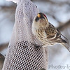 Common Redpoll <br /> and American Goldfinch<br /> City of Bridgeton <br /> St. Louis County, Missouri <br /> 02/23/2013