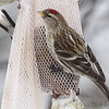 Common Redpoll <br /> Bridgeton, Mo. <br /> 02/22/2013