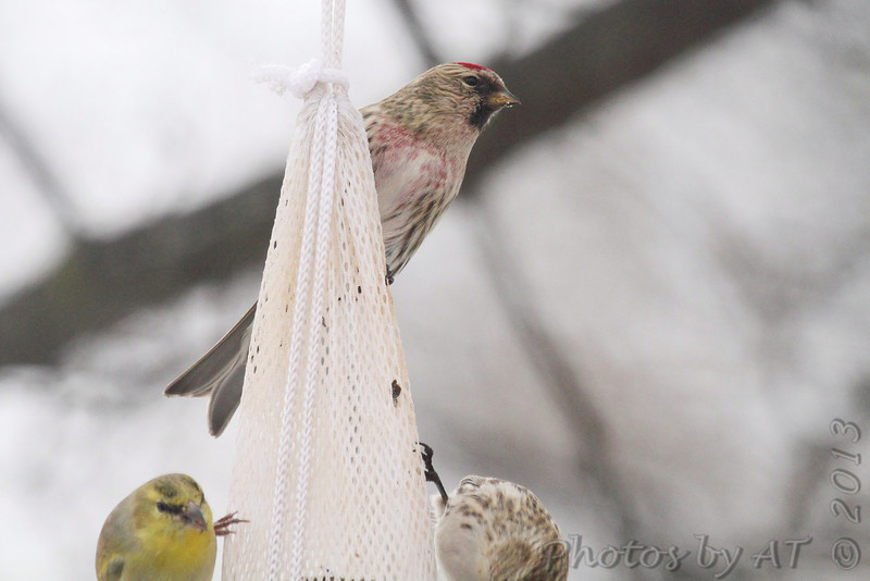 Common Redpoll (two) <br /> See next photo for one at bottom right<br /> Bridgeton, Mo. <br /> 02/25/2013